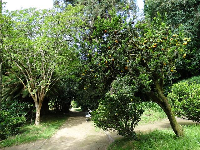 Narajo en el Pazo de Santa Cruz de Rivadulla