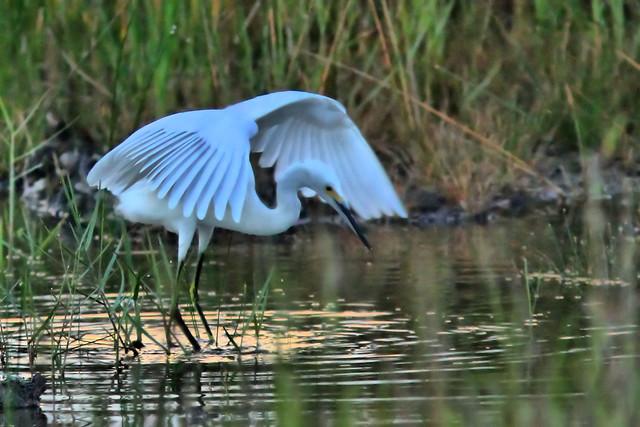 Snowy Egret-12 HDR 20150817