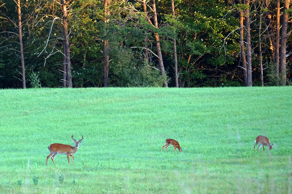 A buck, a doe, and a fawn walked into a field . .
