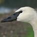 Trumpeter Swan by poecile05