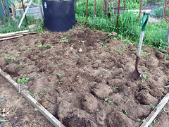 2015-05-12 potato bed turned IMG_1352