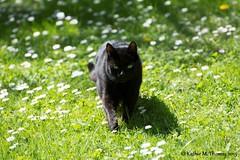 Shadow in daisy lawn