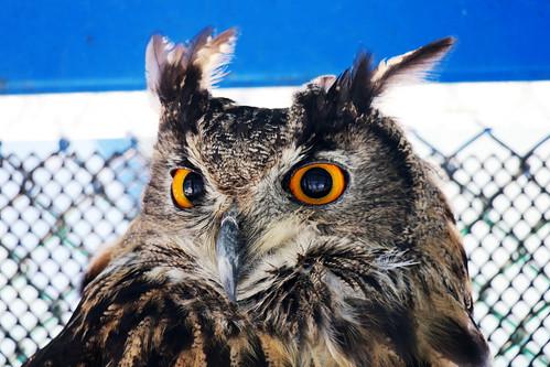 Eurasian Eagle Owl (수리부엉이)