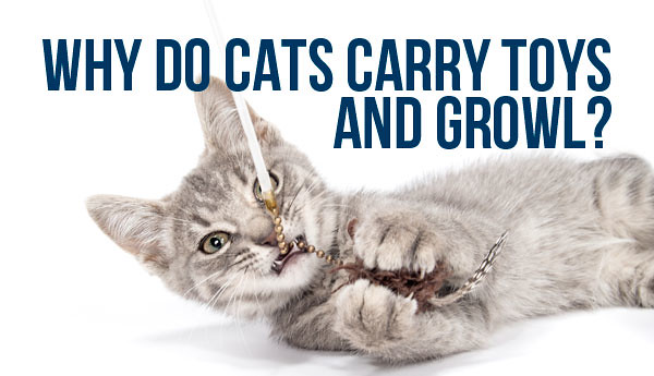 cats-carry-toys-and-growl