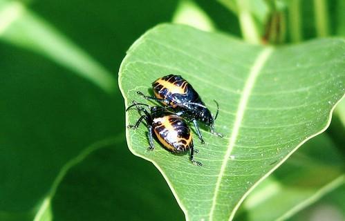 Hemiptera Order -- bug nymphs 6646