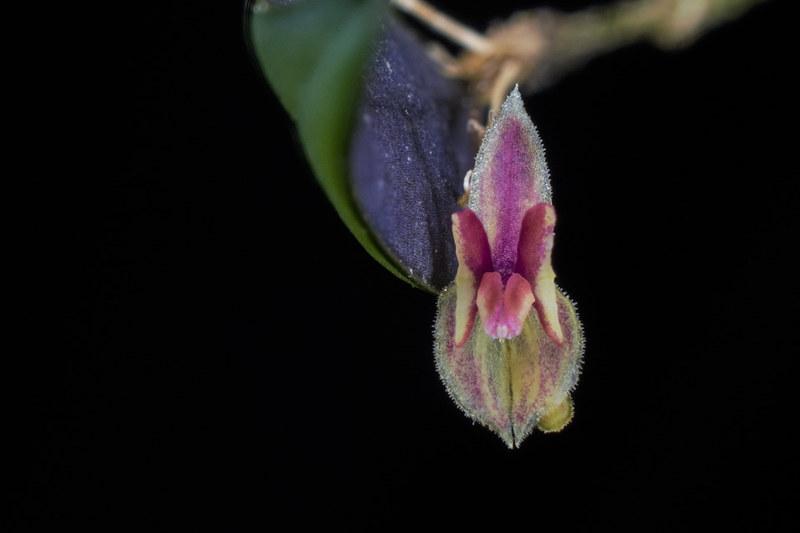 Miniatur-Orchideen 2. Teil - Seite 22 23676366226_31e2d89f56_c