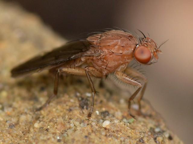 Interesting fly near mushroom and maggots - genus Suillia, Heleomyzidae?