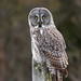 Great Gray Owl by Fyn Kynd