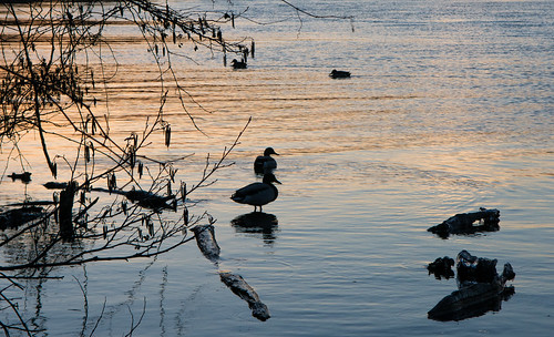 sunset water waterfowl duck ngiht silhouette nature nikon d7100 nikkor 755 dx bird