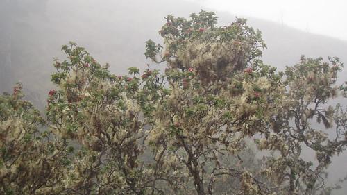A Lichen covered ʻIliahi Tree (Santalum haleakalae)