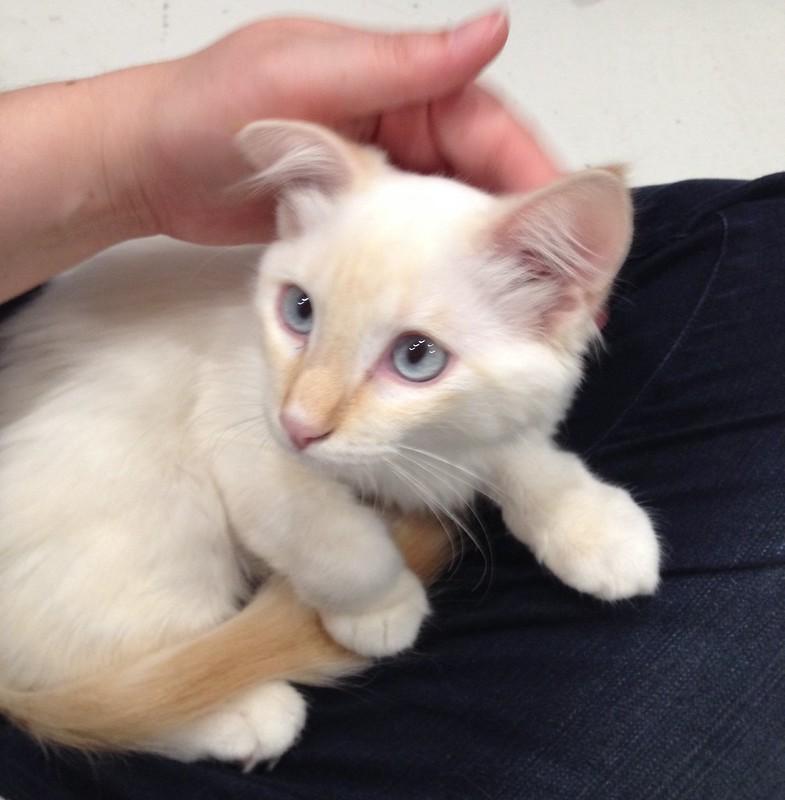 Cream Kitten