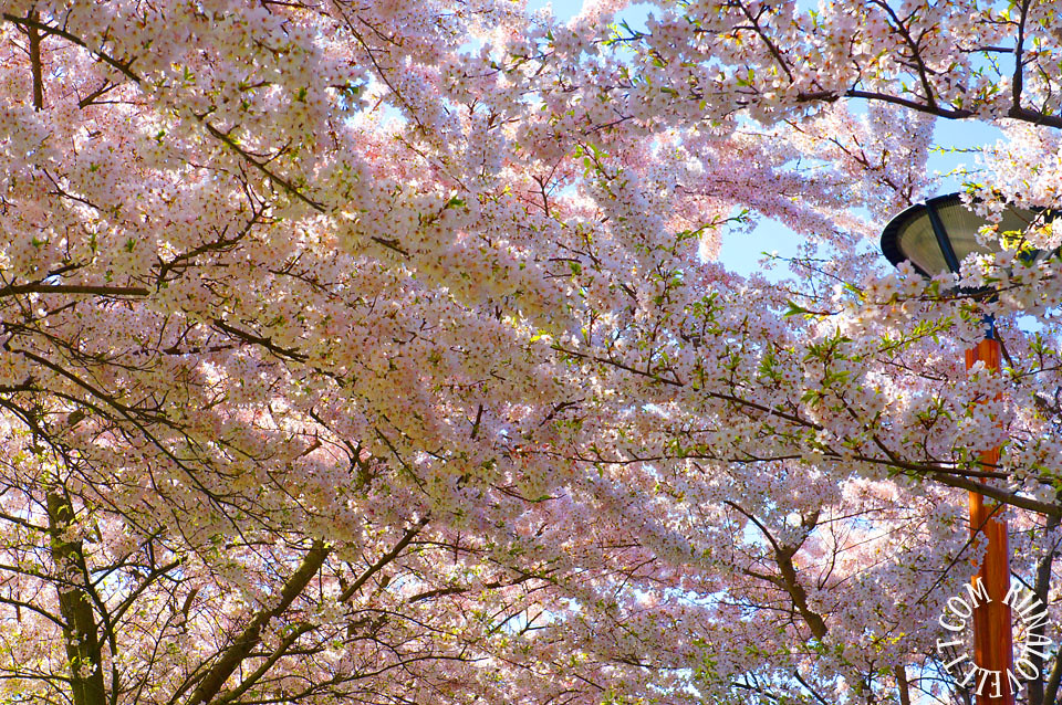 cherryblossoms6