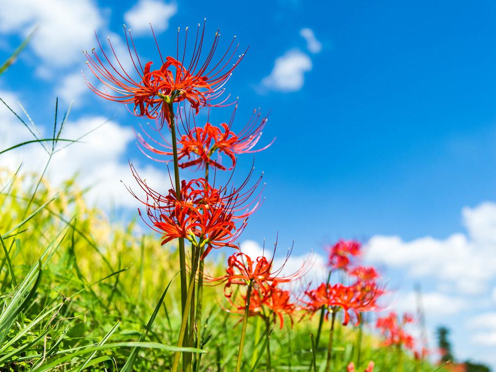 青空に咲く深紅