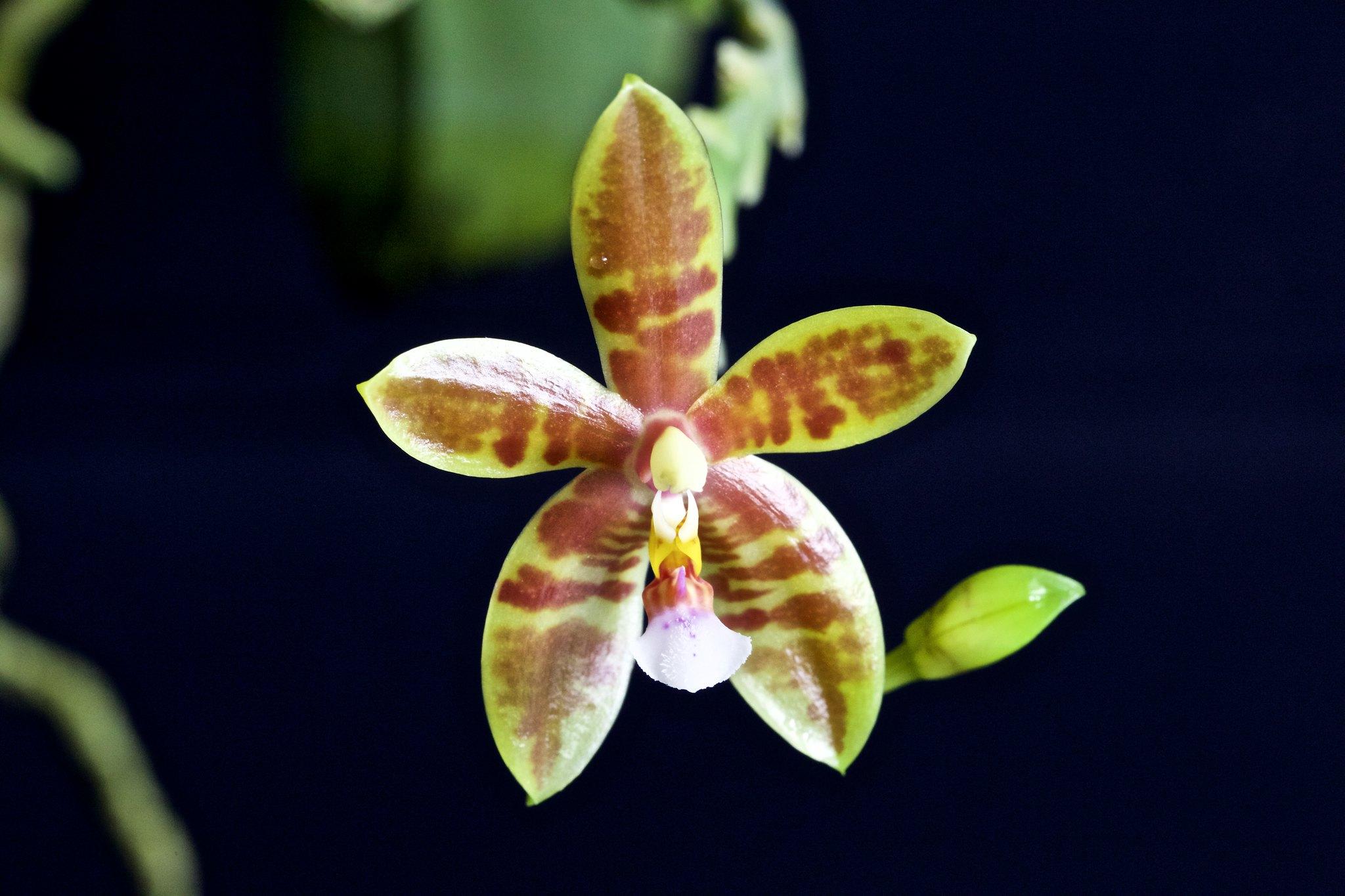 Phalaenopsis Meen Estrela 20955358349_0395c273ae_k