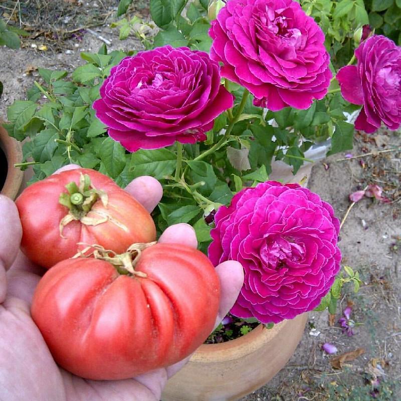 Dos ultimos ejemplares de tomate Malinowy Olbryzn. Al fondo rosal Scent of Woman, de Barni #pueblo