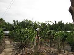 Dragon fruit farm is fertilized by liquid animal w…