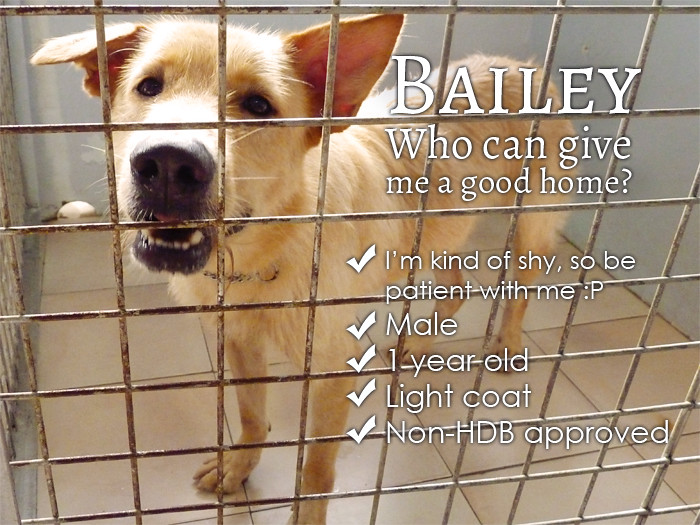 adopt singapore dog Bailey