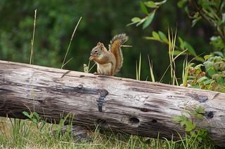 029 Amerikaanse rode eekhoorn