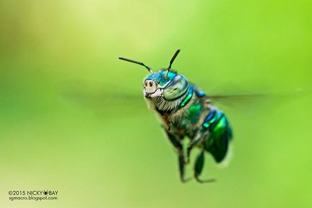 Orchid bee (Euglossinae) - DSC_0282