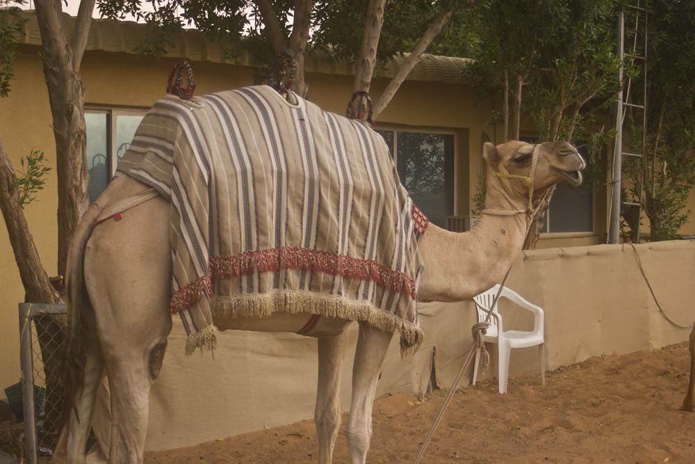 camel wearing jacket stripy fabric desert dubai sandstorm dunes arabic desert