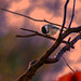 Chickadee evening snack IMG_7109 by ForestPath
