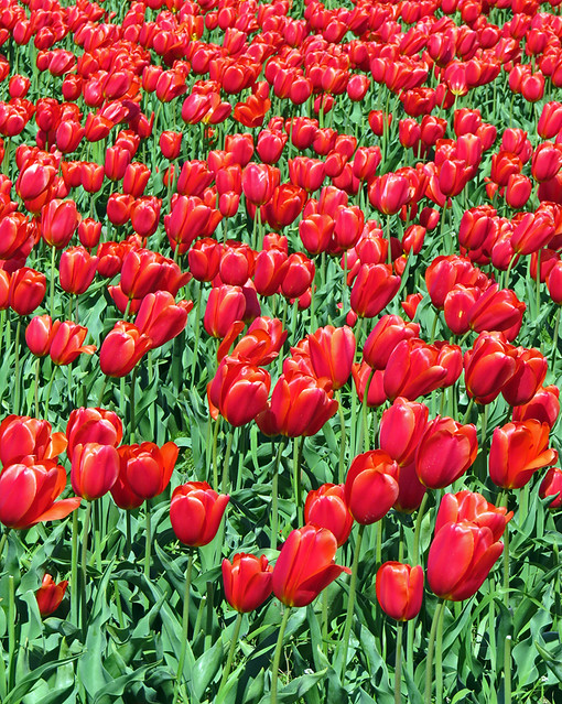 Tulips growing in the fields of La Conner Washington