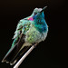 White-vented Violetear by Thelma Gatuzzo