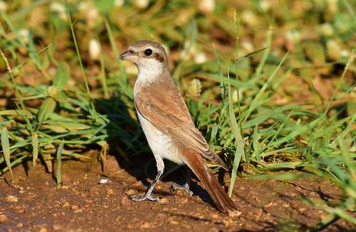 redbackedshrike laniuscollaris gaborone gabarone botswana immature