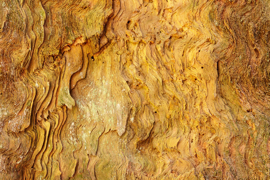 Close-up of a redwood tree