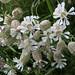 Small photo of Silene vulgaris (Bladder Campion)