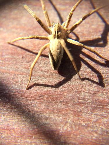 noch ein mir unbekanntes Spinnentier , NGIDn347143291