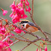 紅頭山雀 Black-throated Tit