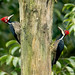 Guayaquil woodpecker - _MG_7006 by arvind agrawal