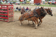 rodeo(0.0), western riding(0.0), racing(0.0), equestrian sport(0.0), sports(0.0), pack animal(0.0), barrel racing(0.0), animal sports(1.0), equestrianism(1.0), mare(1.0), horse harness(1.0),