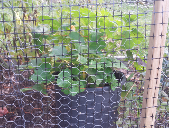acorn squash protected by a net