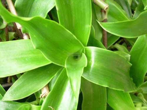 Chữa khỏi ung thư lưỡi giai đoạn cuối nhờ cây thuốc quý vườn nhà