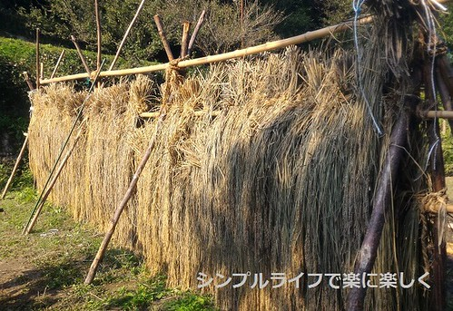 稲刈り・脱穀、脱穀前の稲