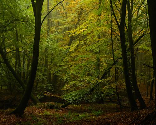 autumn light mist green forest dark beechtree beechwood