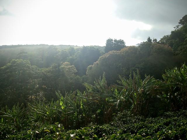 Vue sur la culture du café au Costa Rica...