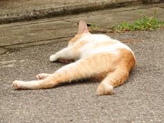 男木島の野良猫