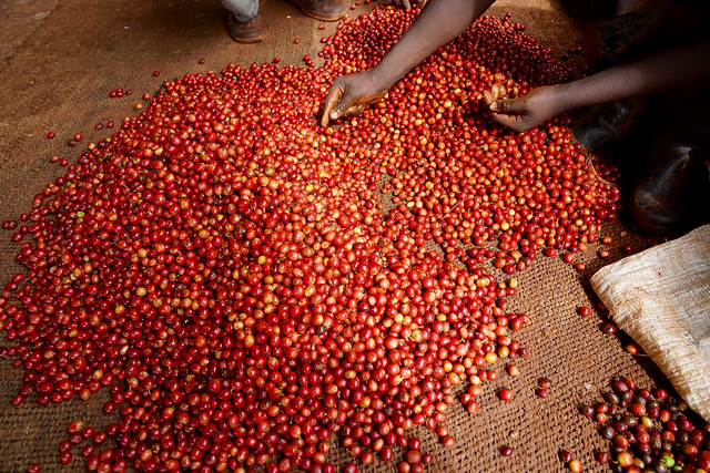 Hand sorting the coffee cherries