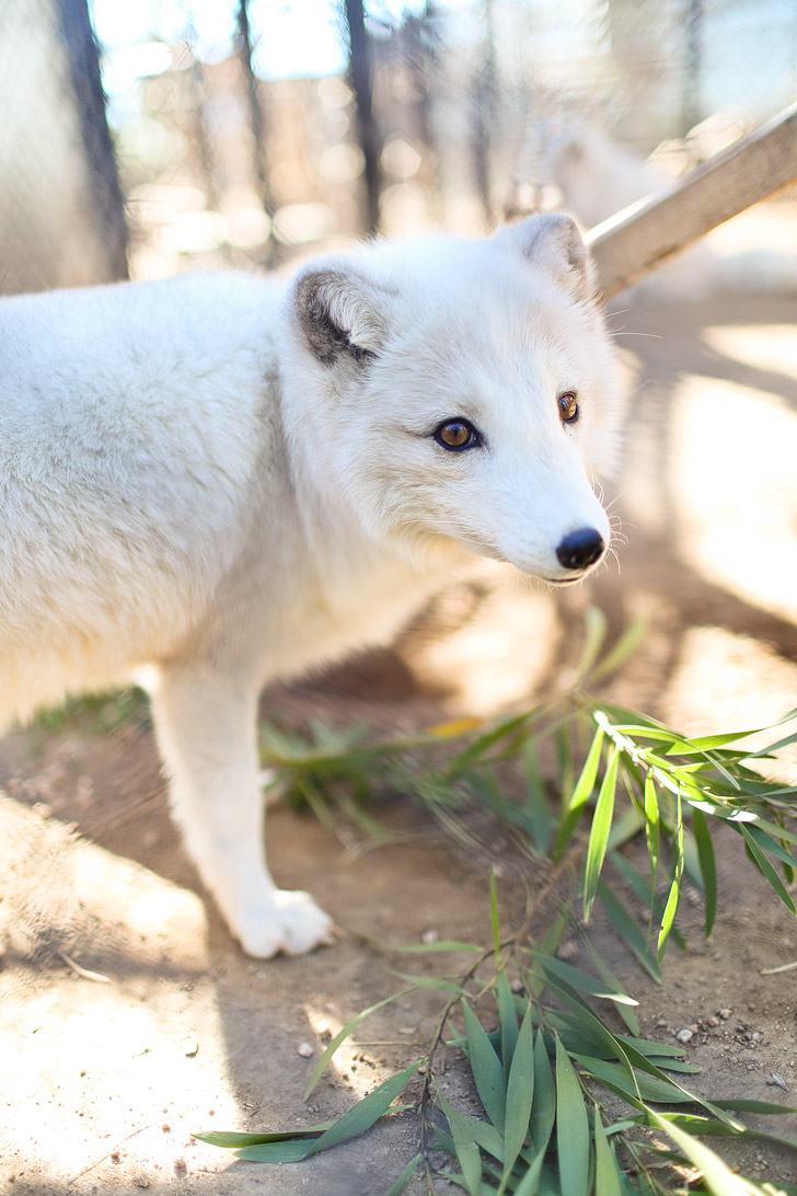 Meet the Arctic Fox ambassadors at Wild Wonders San Diego. Their mission is to rescue, educate, and conserve.