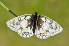 Melanargia russiae - Photo of Lardier-et-Valença