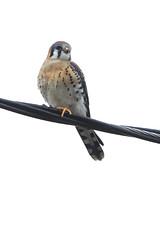 American Kestrel (Falco sparverius) 5 010217