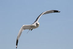 Gulls  (1)