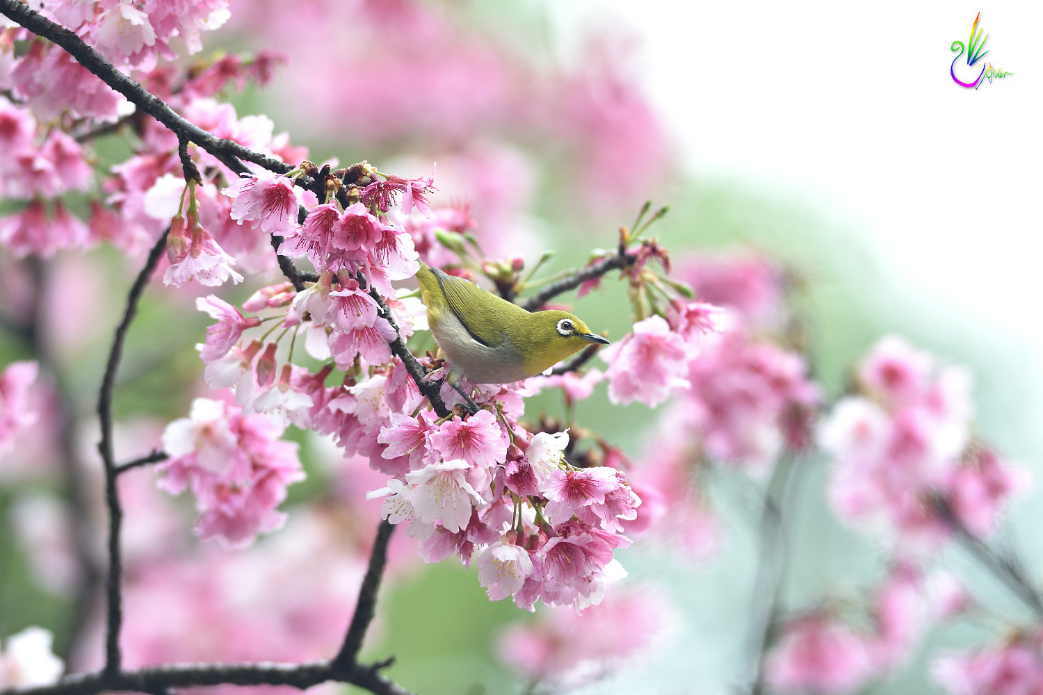 Sakura_White-eye_4850