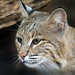 Bobcat Ollie by Smithsonian's National Zoo