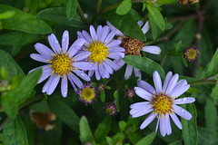 ASTER trifoliatus ssp. ageratoides 'Harry Smith'