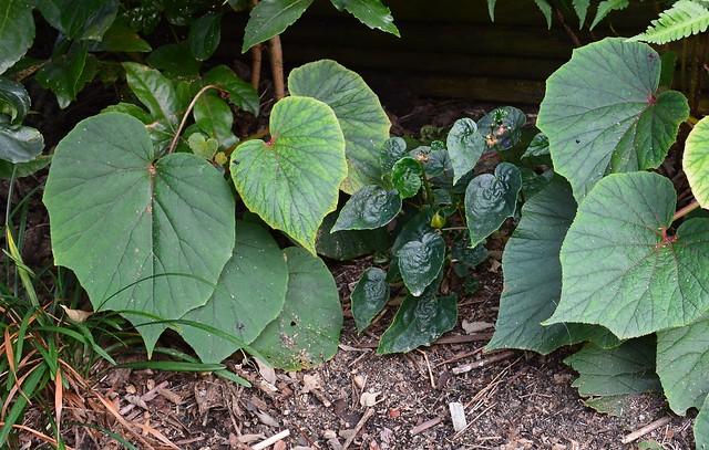 Begonia 'Torsa'