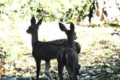 D70-0812-011 - Deer